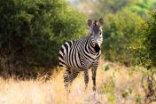 zebra with morning sunlight