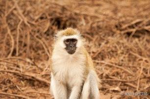Black-faced Monkey