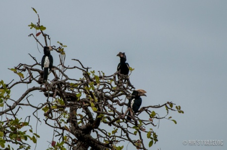 Silvery-cheecked hornbill