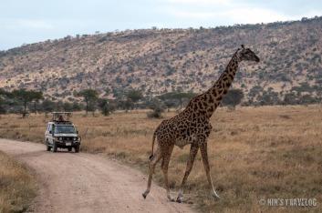 Girafee crossing