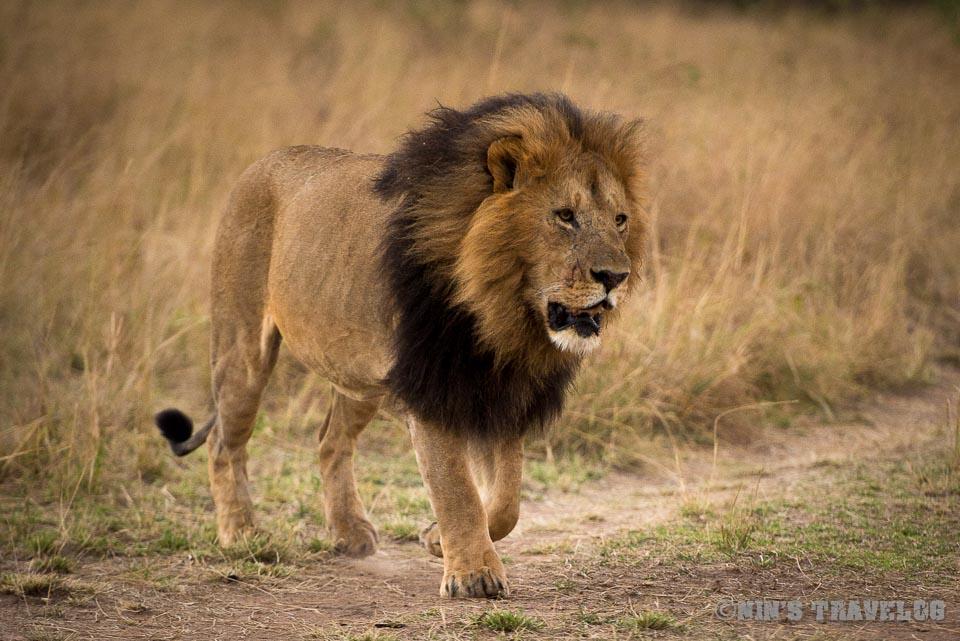 Pride Of Lions Nins Travelog