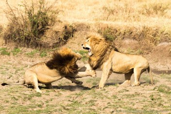 During mating season occasionally there are few seconds of fight over a female lion