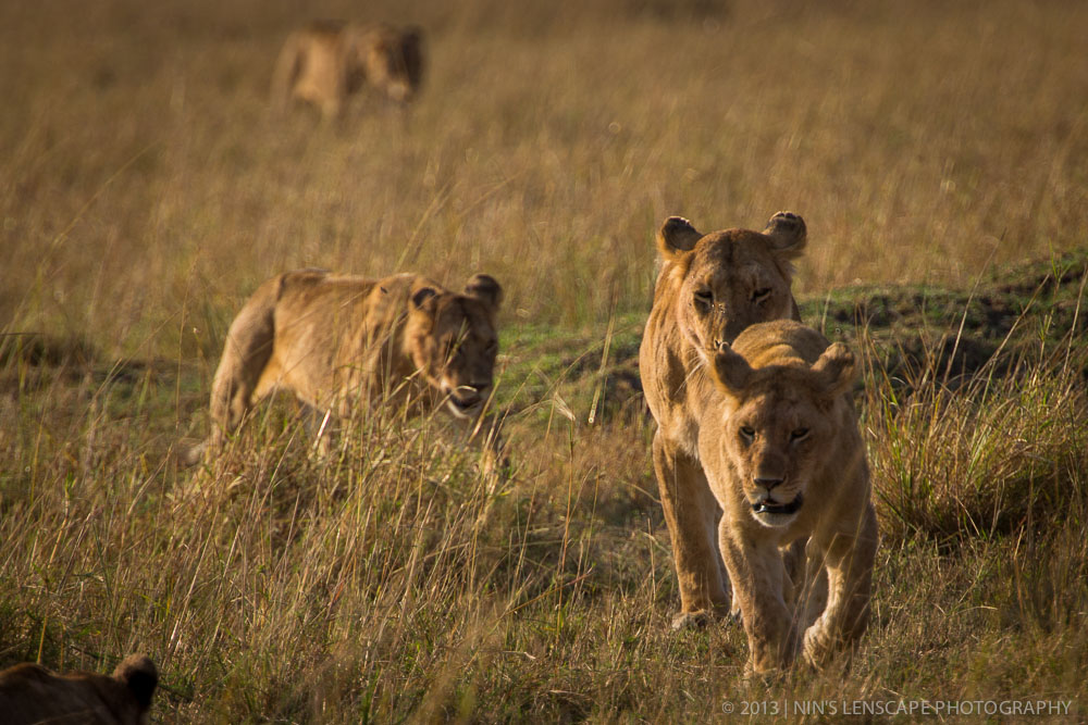 A walk of family of lions, consist of several female lions and their off springs