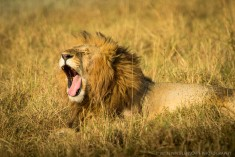 Growling or yawning?