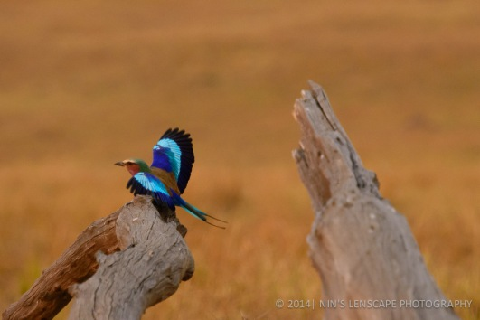 Kenya: King Fisher bird just landed on that stump