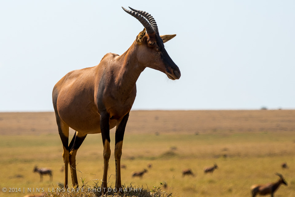 Topi as I capture it on my visit to Kenya in 2013