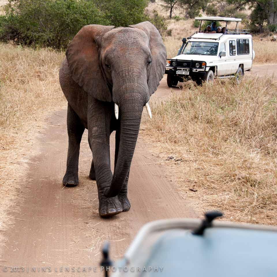 But then it seems that we are getting too close and encroaching their territory, as this elephant started to trumpeting and charging at our car...