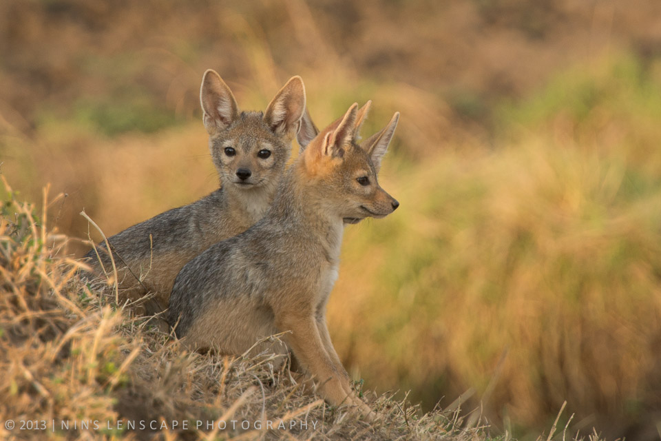 "Young Jackals waiting anxiously for ""mummy and daddy"" to come home..."