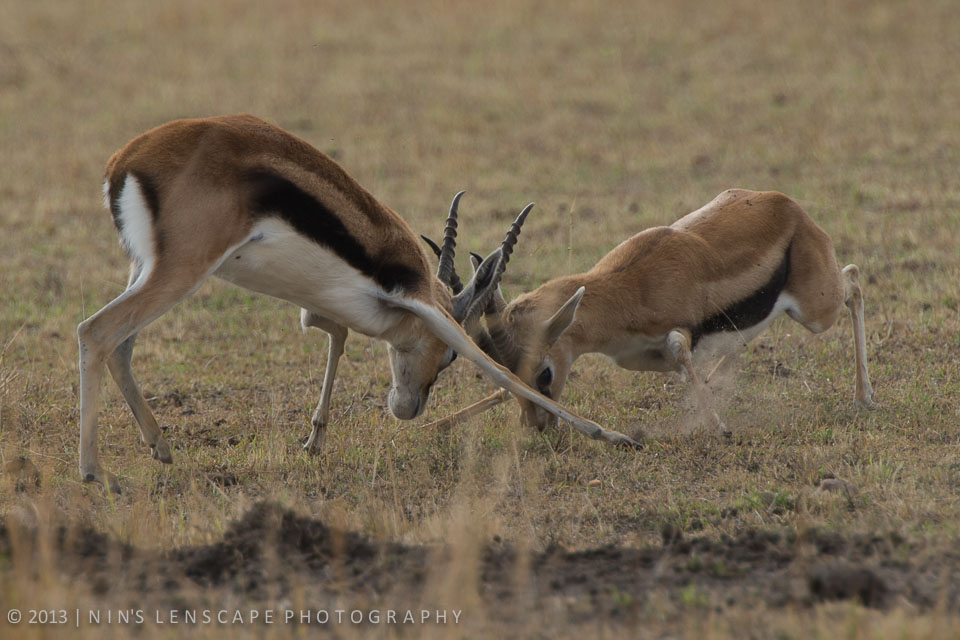 These young impala testing their testosterone...also part of the show