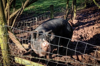 The pig farm at the bottom of the garden