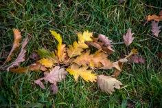 Oak tree leaves