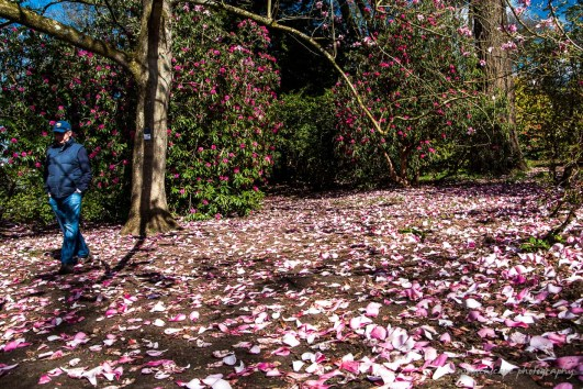 Something is still shed in Spring, but this time its the Magnolia flowers and the cherry blossom